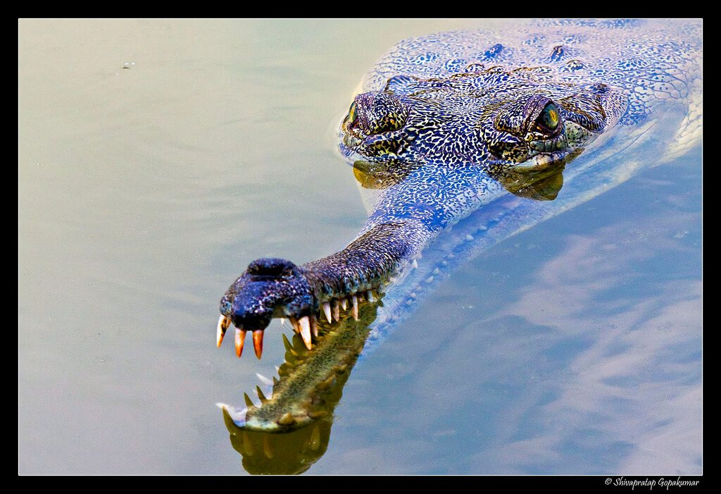 A gharial on the Chambal River