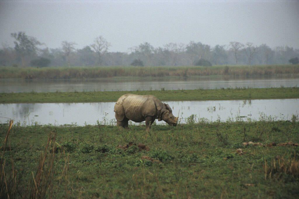 An Indian one-horn rhino