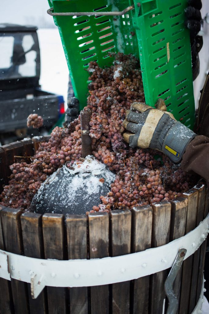 Frozen grapes are harvested for Swedish ice wine.