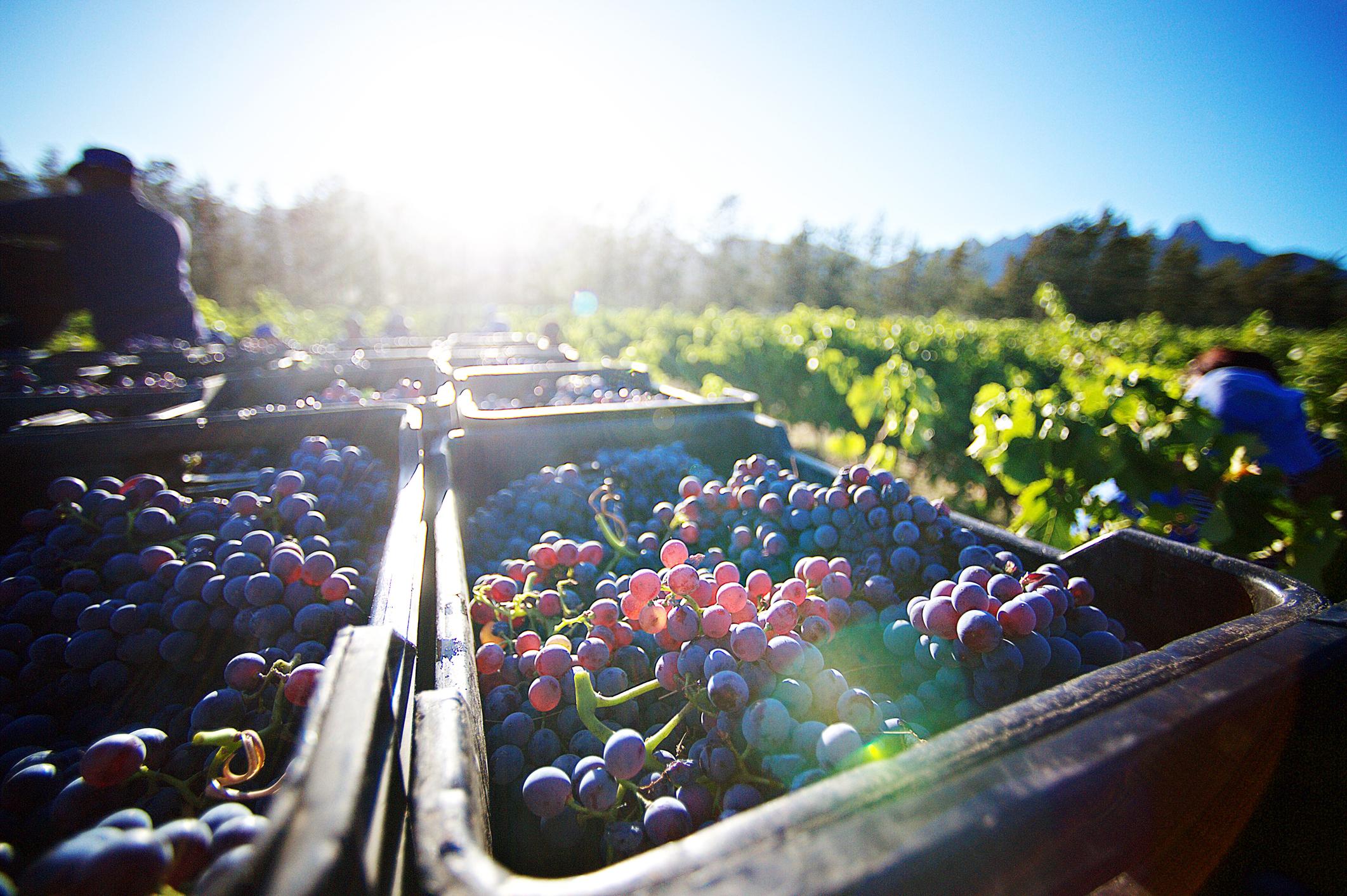 Grapes in the Transylvania sunshine