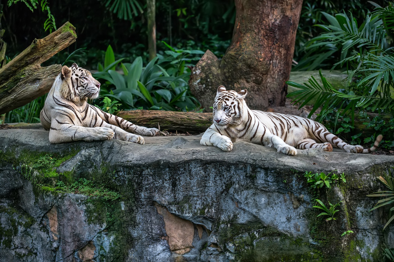White tigers at Singapore Zoo