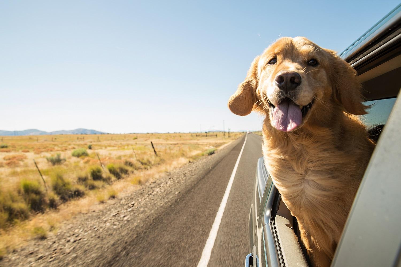 dog on a road trip